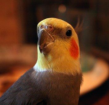 Cockatiel, Bird, Domestic Birds, Yellow, Orange, Grey