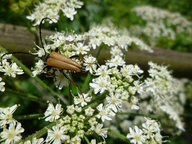 Insect, Beetle, Schwarzspitziger Neck Bock