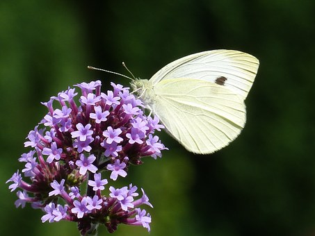 Argentine Vervain, White, Verbenia Extinct, Butterfly