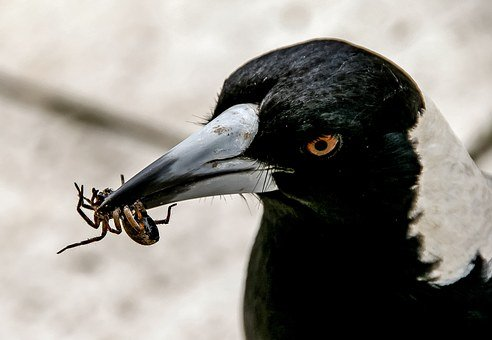 Magpie, Australian Magpie, Hungry, Catch, Prey, Insect
