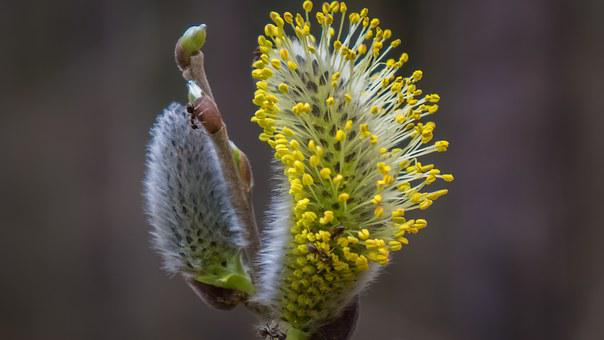 Pussy Willow, Spring, Hope, Signs Of Spring, Branches