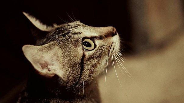 Cat, Pussy, Cat Profile, Grey Beige, Domestic Animal