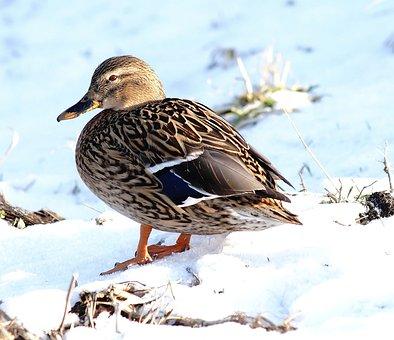 Duck, Female, Plumage, Bird, Elegant, Animal, Head