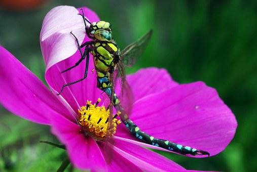 Dragonfly, Insect, Cosmea, Close, Wing, Nature, Eye