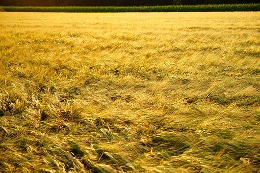 Field, Spike, Grain, Evening Light, Golden, Gold