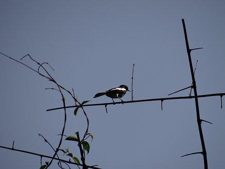 Magpie Robin, Bird, Dandeli, Karnataka, India, Fly