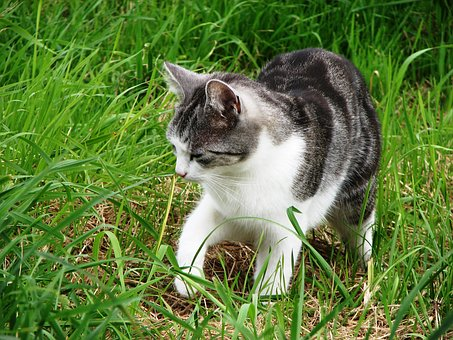 Cat, Grass, Kitten, Tiger Cat, Grey Tabby, Hunting