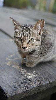 Cat, Kitten, Animals, Pet, Feline, Cute, Animal, Grey