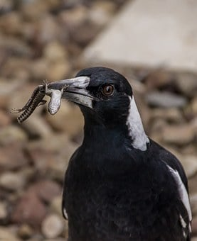 Magpie, Australian Magpie, Hungry, Catch, Prey, Skink