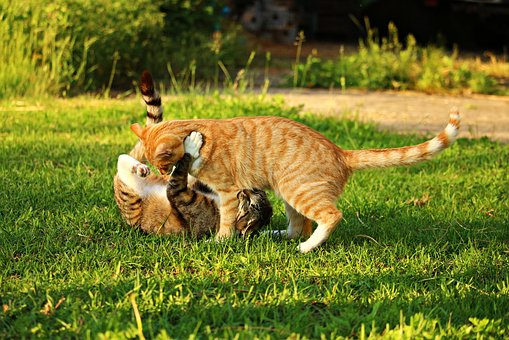 Cat, Mieze, Kitten, Mackerel, Tiger Cat