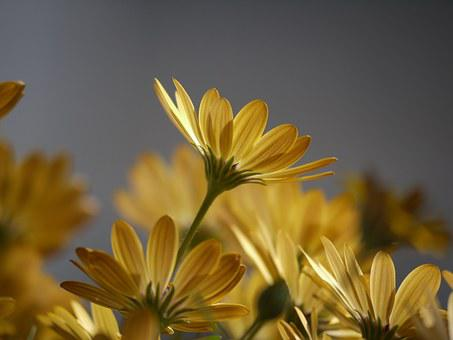 Cape Daisies, Yellow, Orange, Cape Basket, Osteospermum