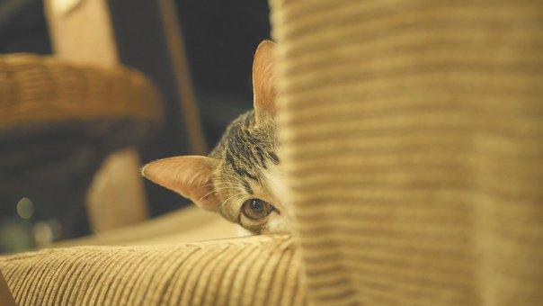 Cat, Kitten, Cute, Animals, Hair, Eyes, Pet, Petit