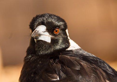 Australian Magpie, Magpie, Bird, Black, White, Portrait