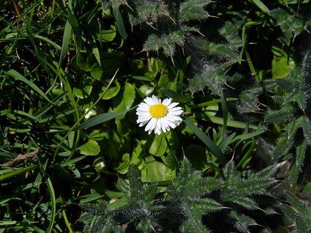 Daisy, White, Pointed Flower, Yellow, Tausendschön