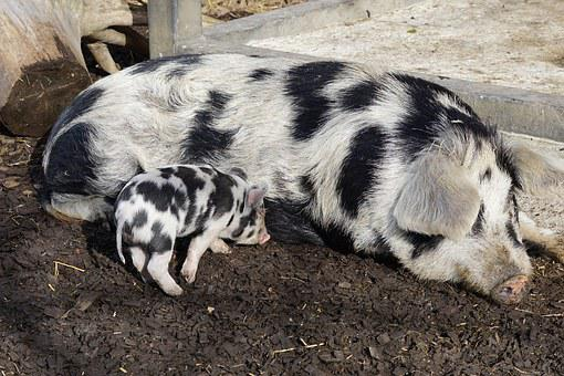 Pig, Turopolje, Domestic Pig, Dam, Piglet, Frugal