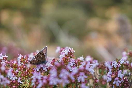 Butterfly, Nature, Thyme, Flora, Fauna, Flowery