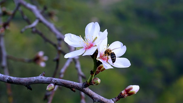 Almond Flower, Spring, Flowering, Bloom