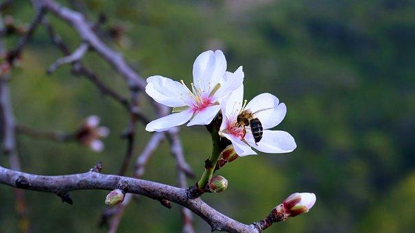 Almond Flower, Spring, Flowering, Bloom