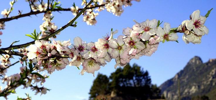 Almond Flowers, Spring, Flowering