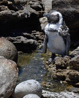 Penguin, South Africa, Bettys Bay