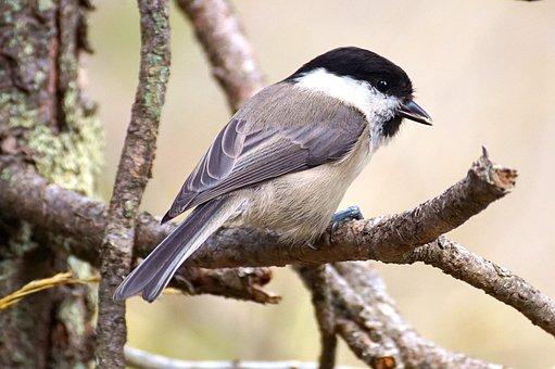 Tit, Bird, Nature, Garden, Foraging, Small Bird