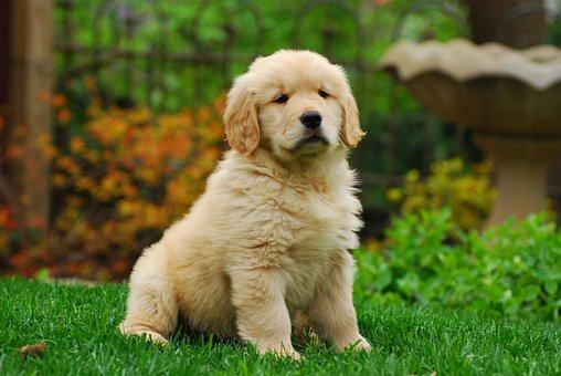 Golden Retriever, Puppy, Canine, Cute, Pet, Fun, Animal