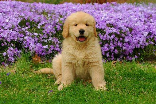 Golden Retriever, Summer, Pet, Animal, Friend, Outdoors