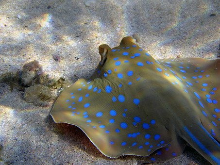 Blue Spotted Stingrays, Rays, Diving, Egypt, Sea, Fish