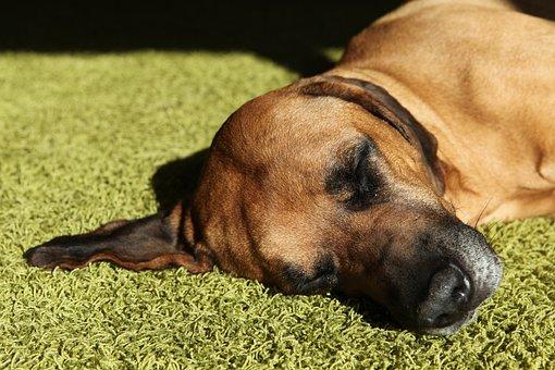 Dog, Pet, Concerns, Rest, Head, Rhodesian Ridgeback