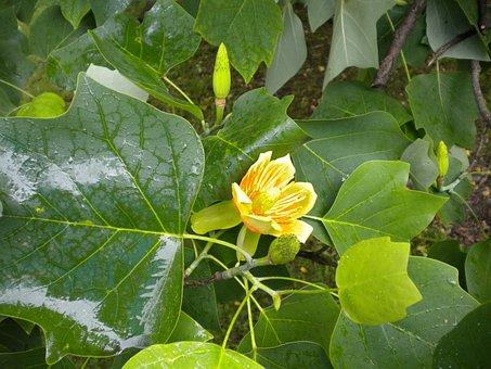 Tulip Tree, Tree, Liriodendron Tulipifera