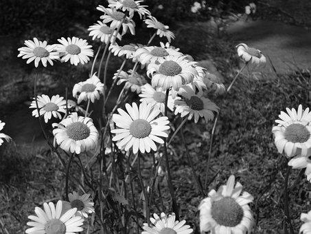 Flower, Daisy, Black And White, Spring, White