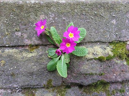 Wallflower, Primrose, Wall, Frugality