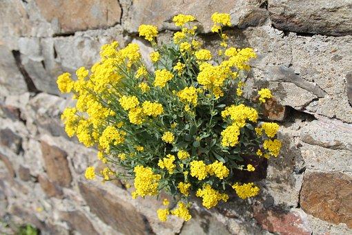 Wallflower, Wall, Flower, Wall Plant, Blossom, Bloom