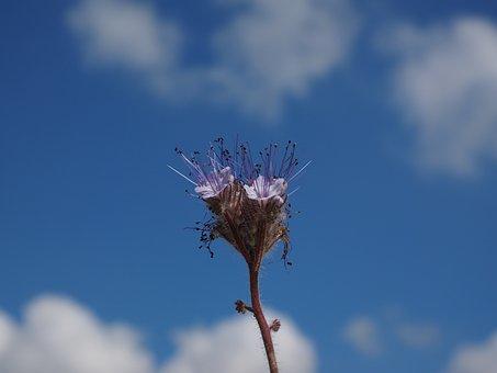 Bueschelschoen, Blossom, Bloom, Violet, Purple