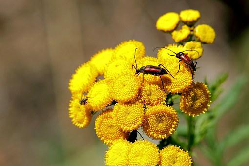 Blossoms Bock, Tansy, Beetle, Insect, Blossom, Bloom