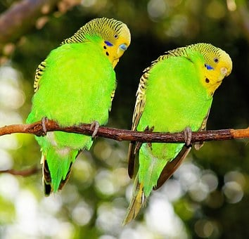 Birds, Budgerigars, Green, Green Bird, Together