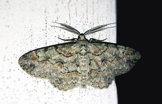Moth, Iridopsis, Geometridae, Iridopsis Defectaria