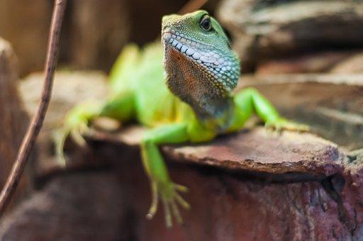 The Lizard, Leopard Gecko, Garden, Wild Animal, Nature