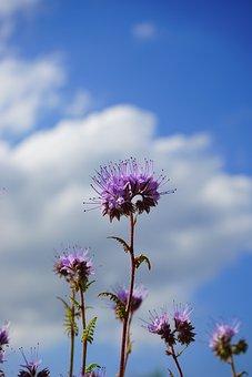 Phacelia, Flower, Flowers, Inflorescences
