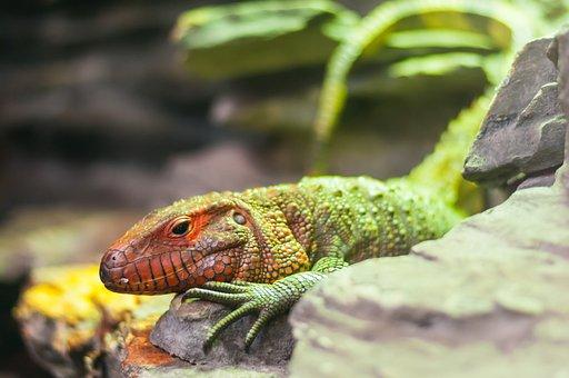 The Lizard, Leopard Gecko, Gad, Garden, Wild Animal