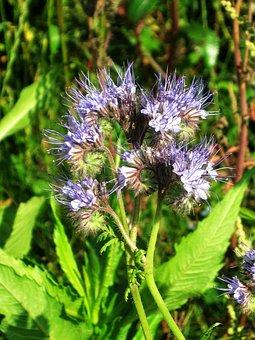 Phacelia, Blossom, Bloom, Tansy-phazelie, Wild Flower
