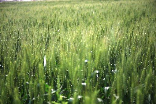 In Wheat Field, Gain, Mr Green, Ye Tian