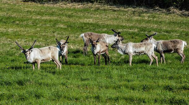 Reindeer, Pack, Animal, Mammal, Nature, Wild, Photo