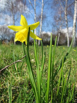Narcissus Pseudonarcissus, Lent Lily, Wild Daffodil
