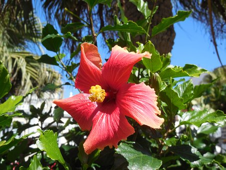 Hibiscus, Blossom, Bloom, Flower, Plant, Buehend