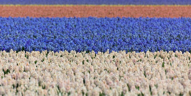 Hyacinth, Field, Fields, Blue, White, Background