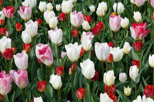 Tulips, Tulip, White, Red, Pink, Background, Wallpaper