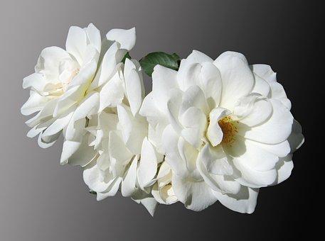 Flowers, Roses, White, Mourning, Noble, Isolated