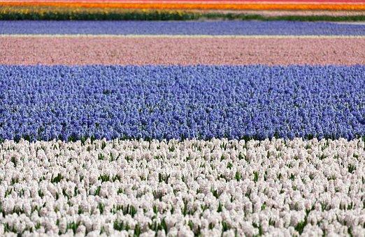 Hyacinth, Field, Fields, Blue, White, Background