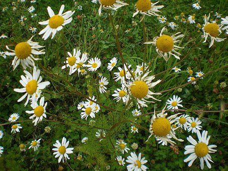 Daisy, Flowers, Daisies, White, Petals, Yellow, Centre
